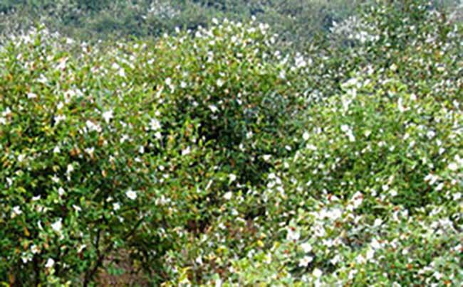 睢宁县中国油茶之乡: