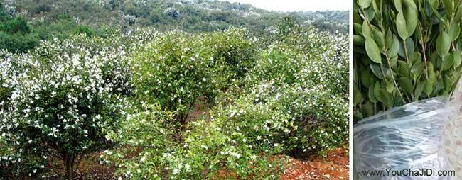 太仓市油茶苗、茶树种