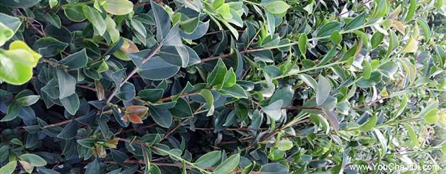 富县茶树苗种植的品种