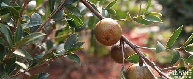 江都区茶树管理技术与
