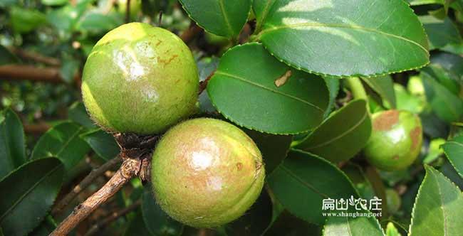 福渡高产油茶苗