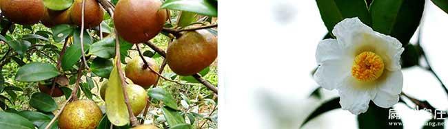 鄂州高产油茶种植