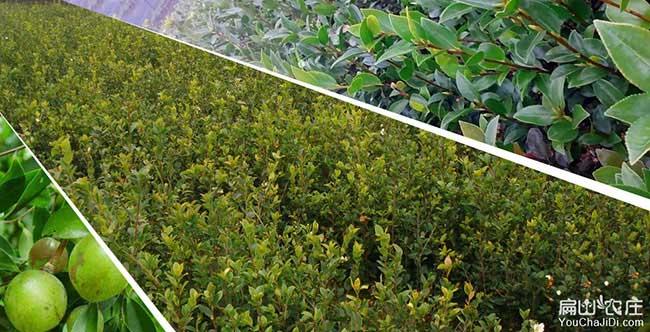 天宁区哪里有油茶种植