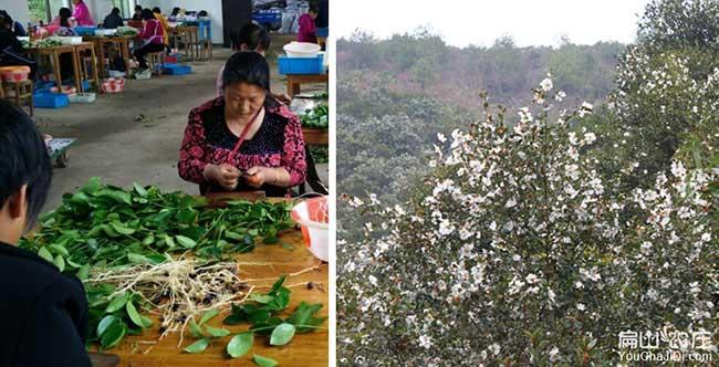 鄂城区油茶苗种植