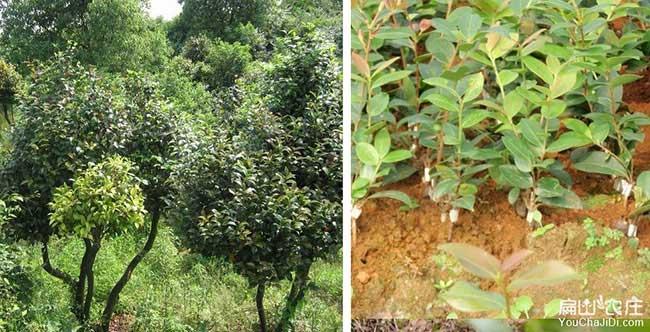 宝应县油茶种植重在邗