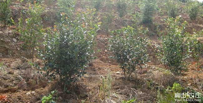 竹箦镇茶树苗的整地技