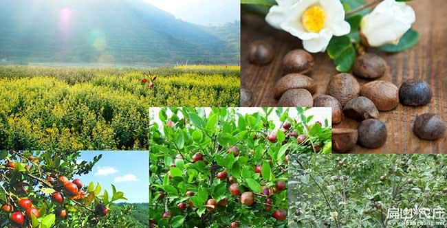 丰县油茶基地种植的品
