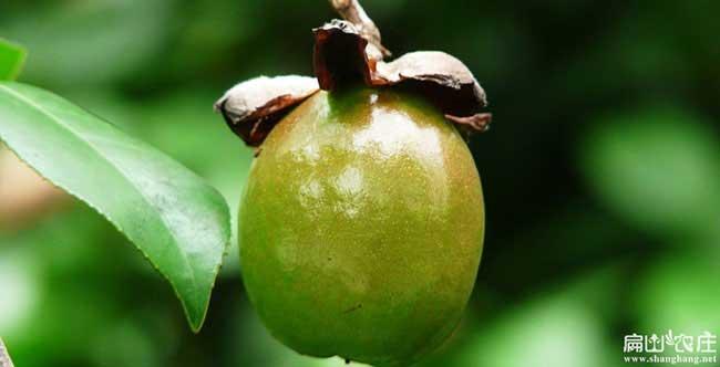 凤形一亩茶树苗可以产