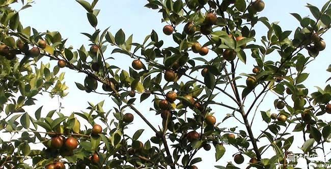 板桥茶树苗种植山的阴