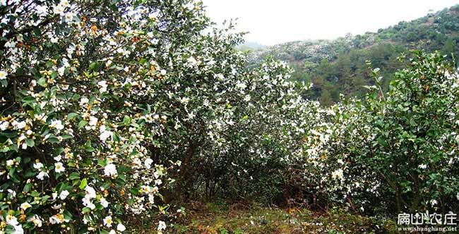 梧州白花油茶基地