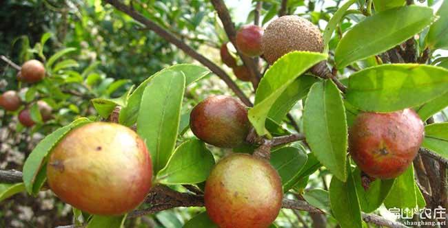 徽州汤口镇油茶种植的