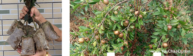 峨山油茶种植的土质检