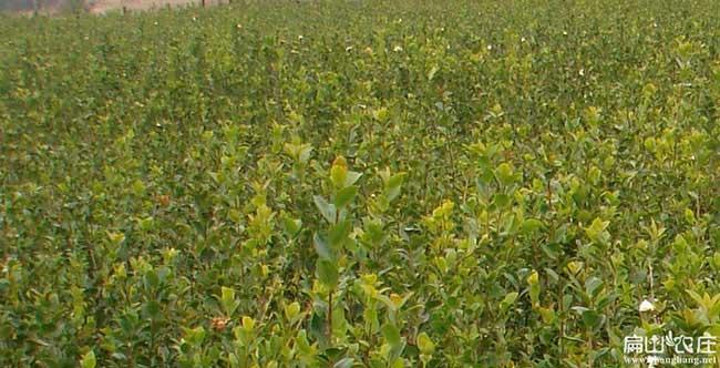 黄鹤楼中国油茶种植基