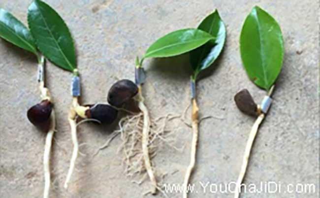 竹山油茶种植的主要问