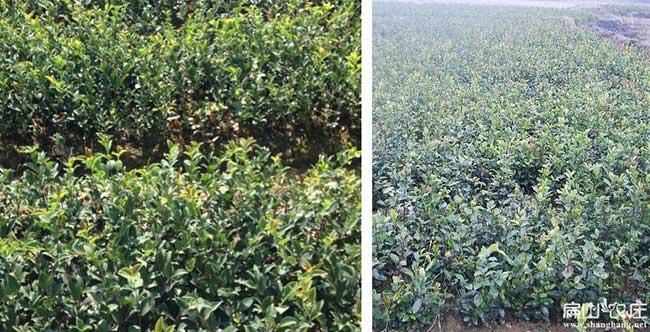 华容油茶种植在泰国受