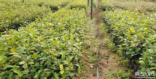 广西茶树种苗