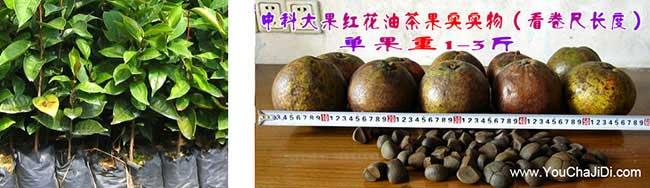 乾县茶树苗的物理特性