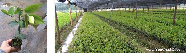 长沙山茶籽苗