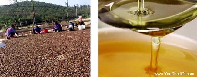 宿豫区一亩茶树苗可以