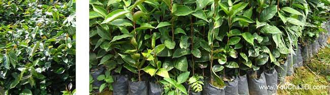 勐海县油茶种植的气候