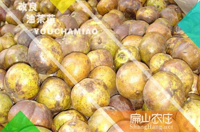 贺州大果茶籽回收