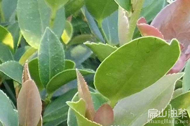 贺州红花油茶树