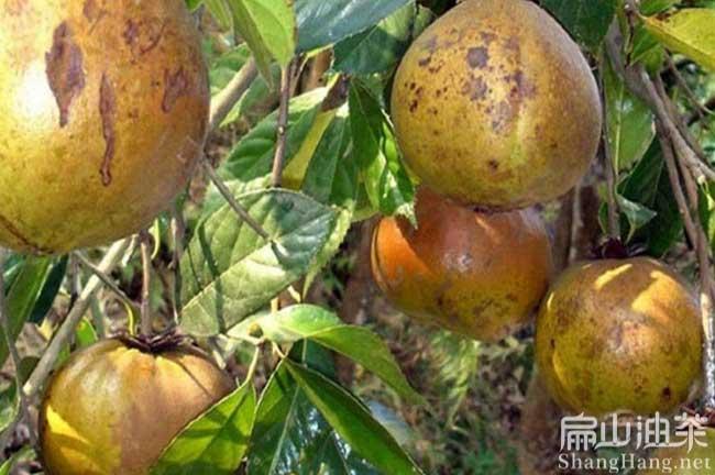 桂平红花茶树苗基地