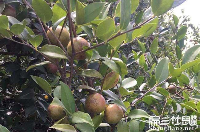 重庆长林油茶苗
