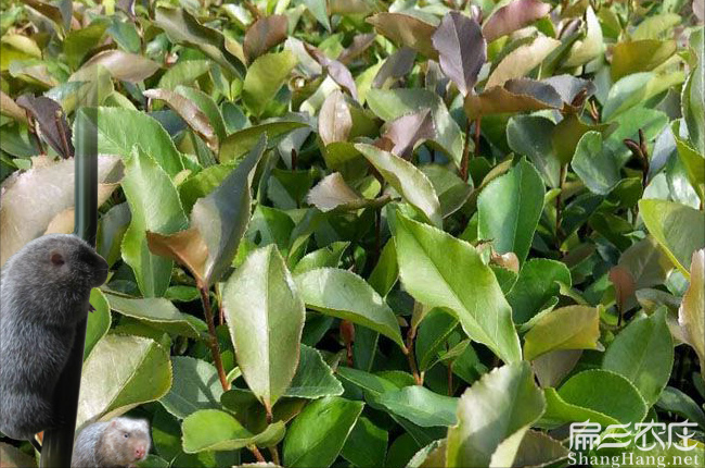上虞油茶种植