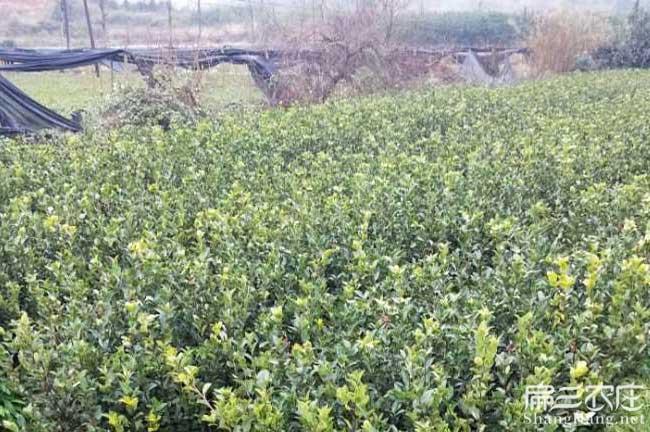 金台国最最新品种油茶