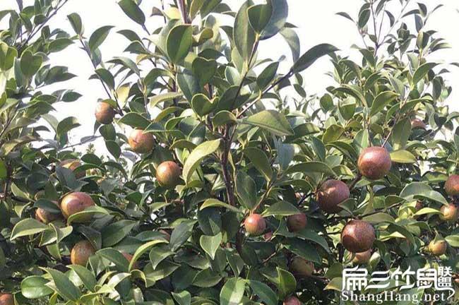 舟溪镇扁山一亩茶树苗