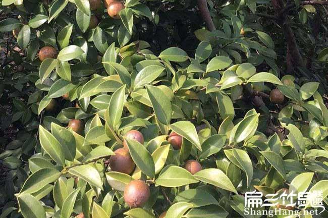 平浪镇油茶苗的最佳种