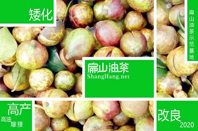 贺州大果茶籽