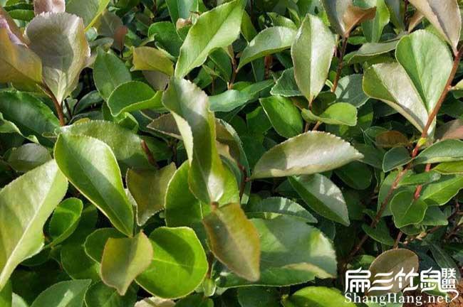 滁州油茶苗按年份出售