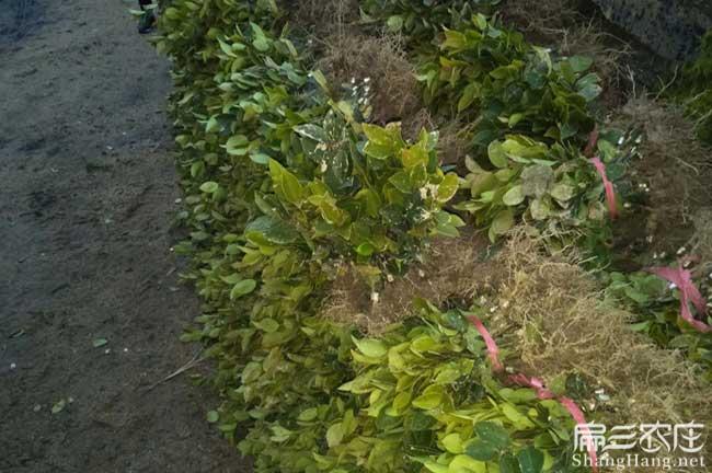 绥宁茶籽树苗专业批发