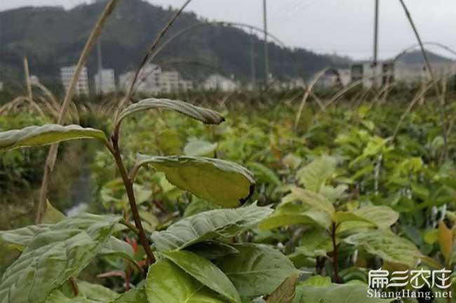 惠州红花油茶