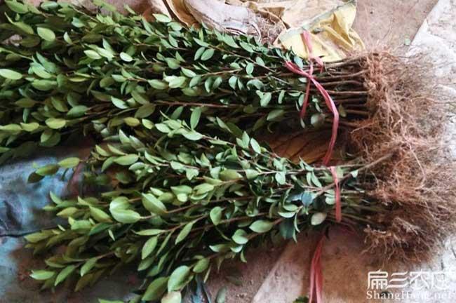 浙江高产油茶基地