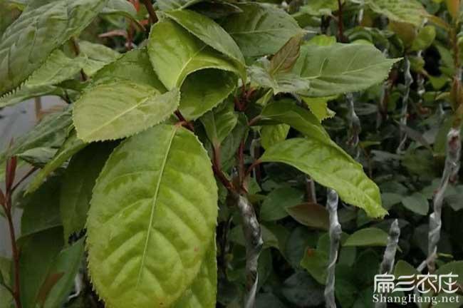 崇左最大果红花油茶苗:崇左长出巨型茶籽果回收-高产嫁接茶籽树苗木