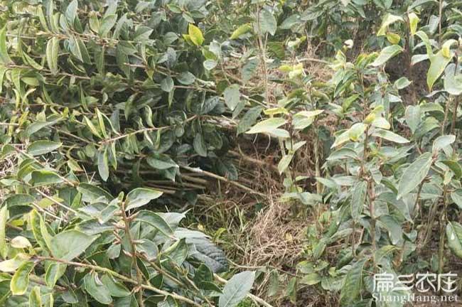 归兰福建龙眼茶苗种植