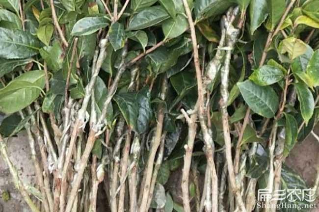 昭关茶树苗种植生长习