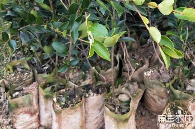曲靖茶油在国外受欢迎