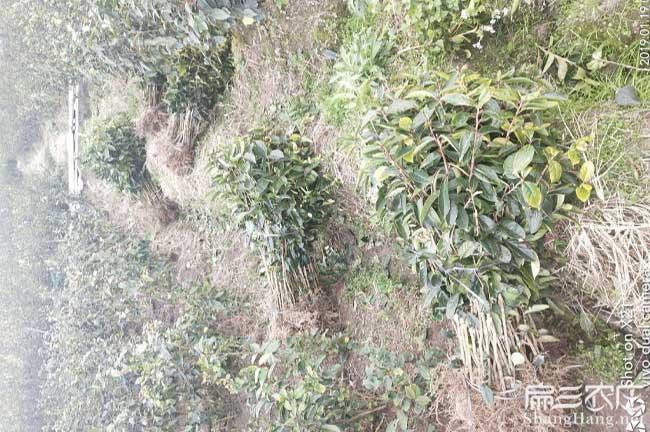 眉县扁山发展油茶生产