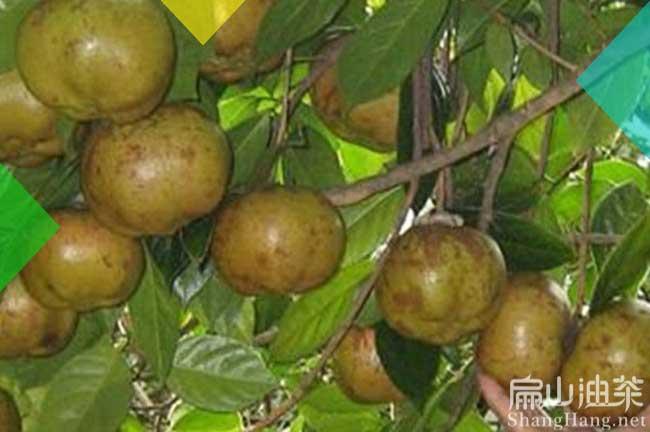 湖南大果油茶树