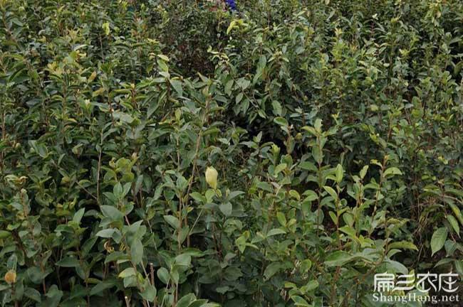创业一亩茶树苗可以产