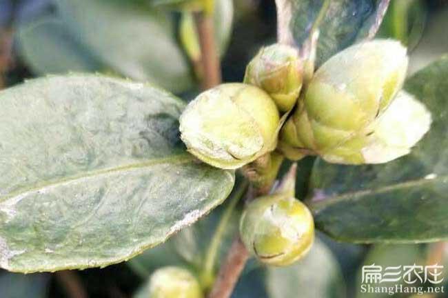 临沧种植油茶哪个品种