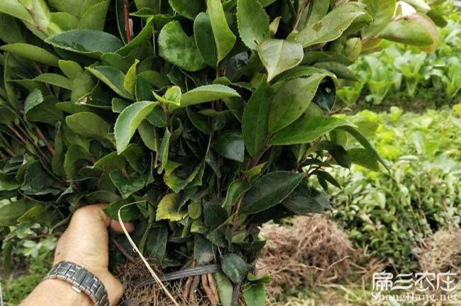 陇县扁山油茶林下套种