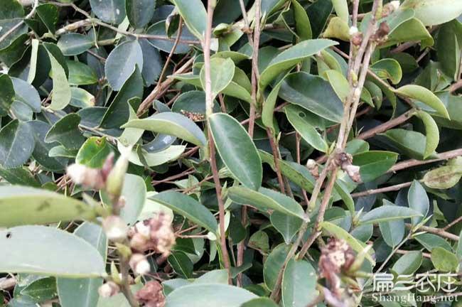 惠州茶树苗