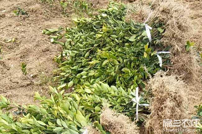 杭州茶树种植