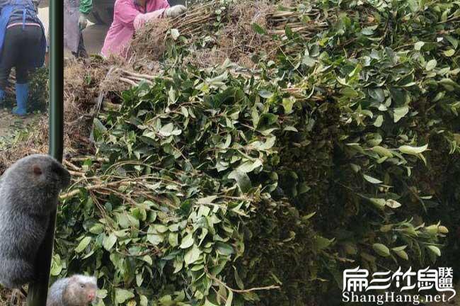 毛尖油茶种植技术培训