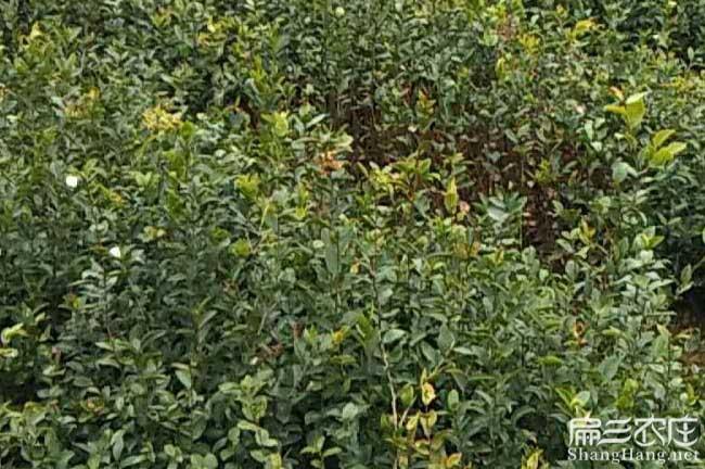 府谷县油茶种植在泰国